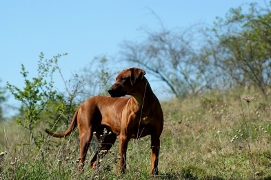 05-Iwa_Of_Iron_Rhodesian_www.of-iron-dogs.com